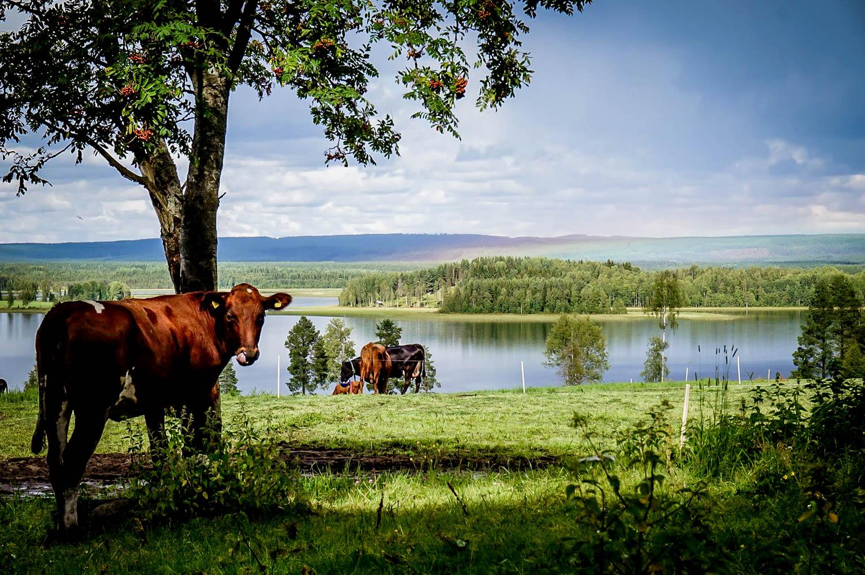Utsikt för kossorna på Svedjans Ost